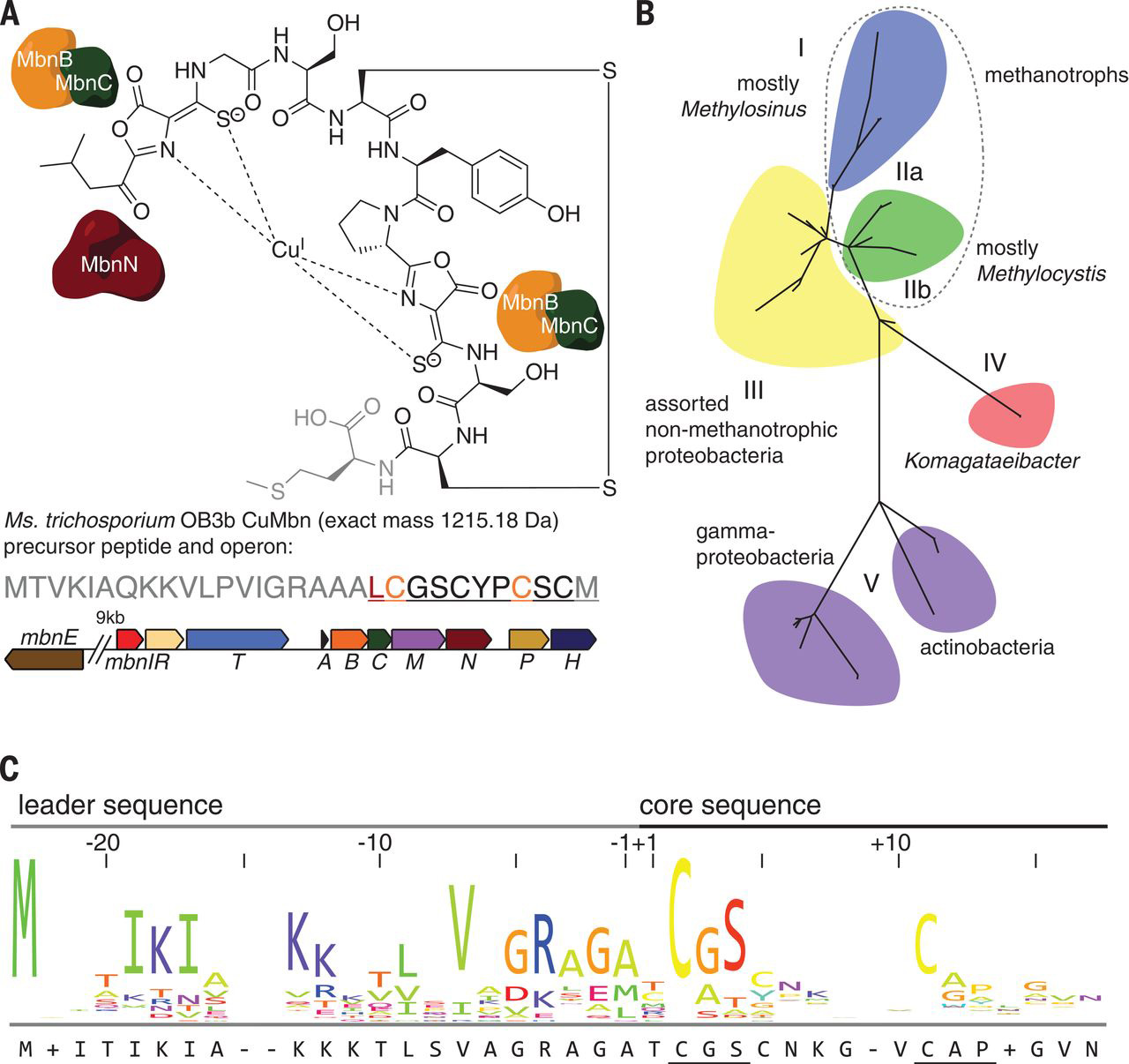 Mbn structure, operon organization, phylogeny, and precursor peptide sequence